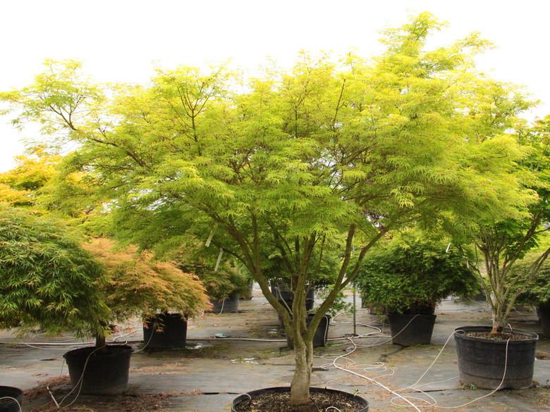 Acer Palmatum Seiryu Specimen 1206