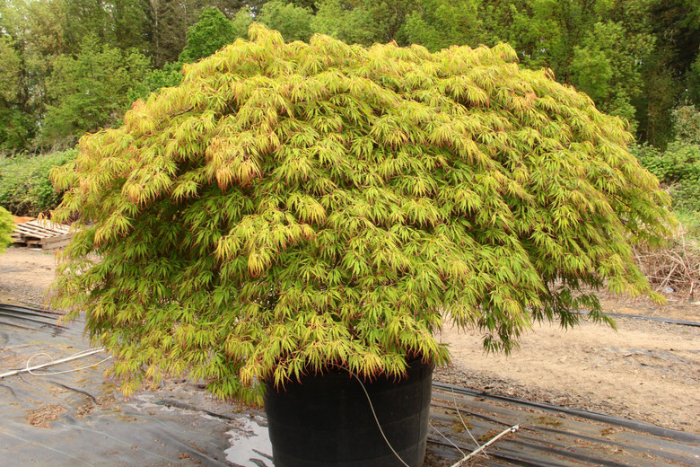 Named for its tasty spring show, this vigorous laceleaf Japanese maple boasts yellow-green spring leaves that look as if they have been dipped in cranberry juice. Similar to Viridis in habit, this chance seedling changes to bright orange in fall. Dissectum.