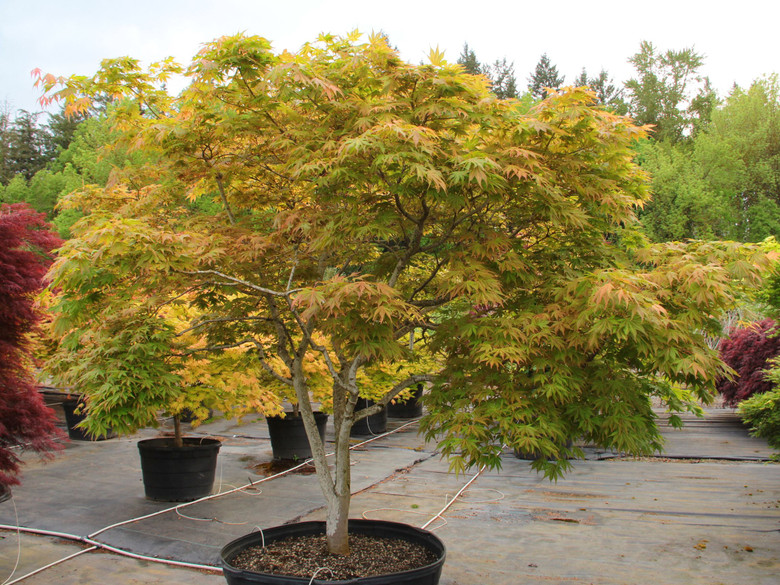 Spring leaves are butter and light-green with purple highlights and red-orange petioles.  Colors quickly mute to cream with green veins.  New growth is brick red on top of the cream base.   Leaf variegation shows better in partial shade.  Fall color is gold and orange.