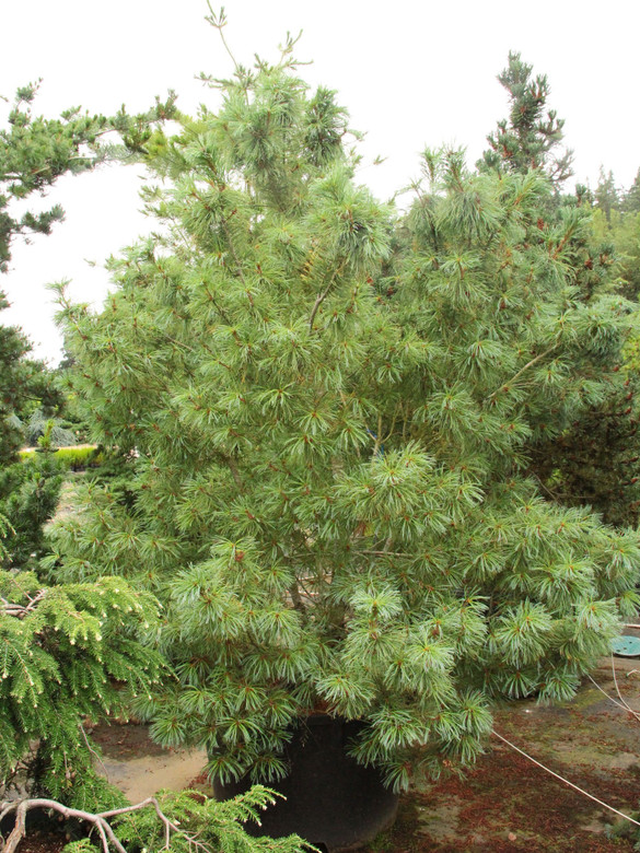 A globose to pyramidal form with blue-green needles which are longer and more blue compared to Pinus pumila 'Dwarf Blue.'