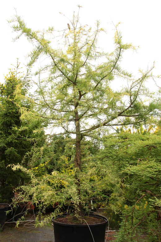 Golden yellow foliage, smaller than species. Striking when the leave emerge so late. One of the only yellow conifers suitable for wet sites.