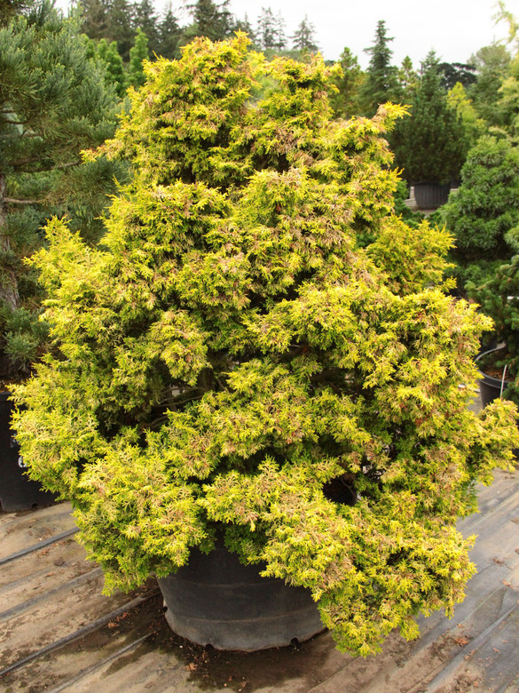A dwarf globose form with twisted foliage. Bright yellow at tips, light green in the interior.