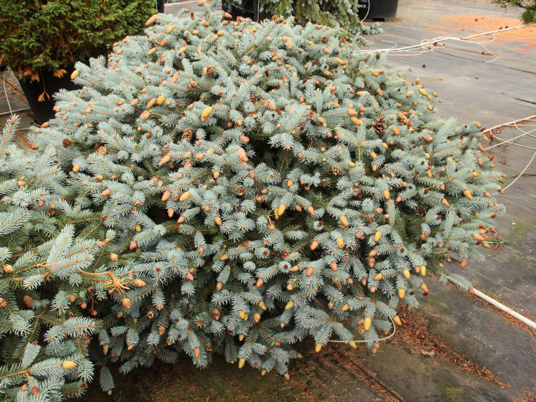 A beautiful dwarf spruce with blue-green foliage and fabulous ruby-colored cones in the spring. The color combination is truly outstanding. An excellent spruce with unique characteristic.