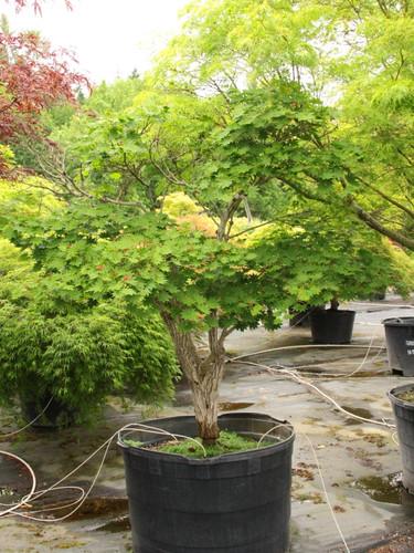 Acer shirasawanum 'Microphyllum' Specimen 1356