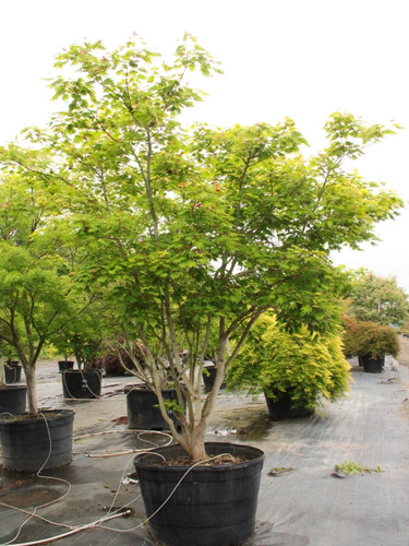The slender, multi-branched Full Moon maple has a delicate look, but resists sunburn better than most maple species. In summer, the almost translucent green leaves combined with heavy yellow and red seeds make an attractive show. In fall, brilliant yellow, orange and red mark the season. A great tree for shrub or mixed plantings.
