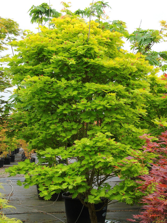 The foliage of this prized Full Moon maple virtually glows throughout the season. Especially in a  site with filted light, the fan-shaped leaves emerge bright yellow in spring, then gradually soften to yellow-green, a color that holds all summer. In fall, bright yellow, orange and scarlet, might all appear on a single leaf. Colors are more subdued in a shady spot. Attractive branching is striking in winter.