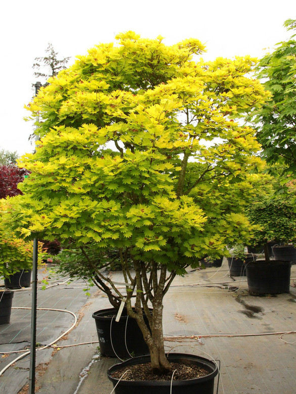 Acer Shirasawanum Aureum Specimen 1361