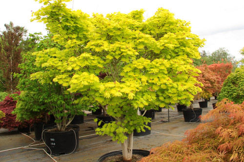 The foliage of this prized Full Moon maple virtually glows throughout the season. Especially in a  site with filtered light, the fan-shaped leaves emerge bright yellow in spring, then gradually soften to yellow-green, a color that holds all summer. In fall, bright yellow, orange and scarlet, might all appear on a single leaf. Colors are more subdued in a shady spot. Attractive branching is striking in winter.