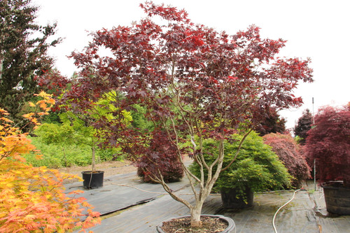 Among the most popular of the large-leaved, red-purple Japanese maples, this industry standard holds its color very well into the late summer.  Deeply divided and finely toothed leaves go bright crimson in fall. Prominent, bright red fruits ornament the tree too.  Best color in full sun.