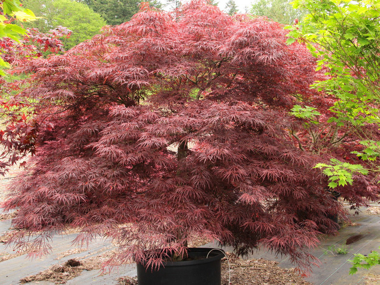 Dissectum. Purple-red spring and summer foliage bronzes by early fall. Fall color is bright crimson. Some describe this cultivar as upright, but in our experiences it is spreading to mounding.