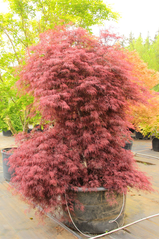 Extremely finely-cut foliage sets this purple-red laceleaf Japanese maple apart from others. Bright burgundy spring foliage darkens to maroon for summer and then goes vivid red in fall. Although the lacy leaves have a very delicate look, the tree is surprisingly hardy; leaves can burn in full sun or drought, though. 'Red Filigree' grows more slowly than other red laceleafs, but eventually attains a similar size and habit. Dissectum.