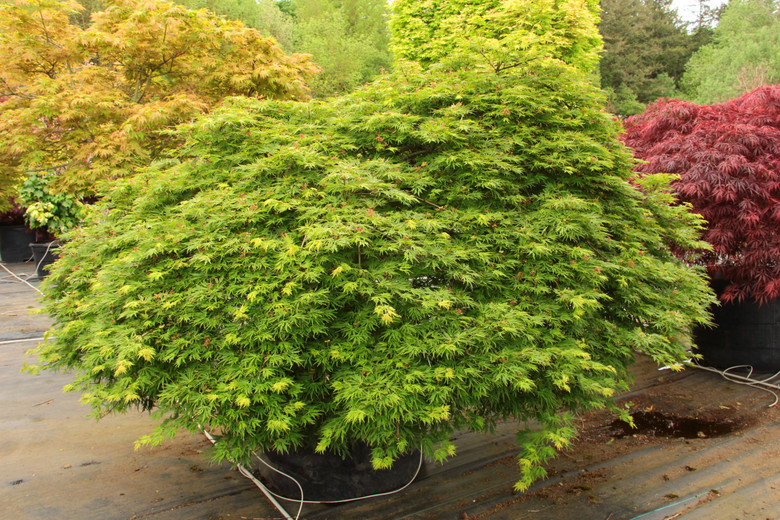 This unique, weeping Full Moon maple has tiny, lacy, light green leaves shaped like nearly circular snowflakes.  Leaves develop orange margins in full sun and turn a blend of yellow and orange in fall.  Thought to be a cross between palmatum and shirasawanum maples, the low, wide tree has characteristics of both. Its red flowers and upright chartreuse-pink seeds point to shirasawanum parentage; the dissected foliage looks like a laceleaf palmatum parent. Dissectum.