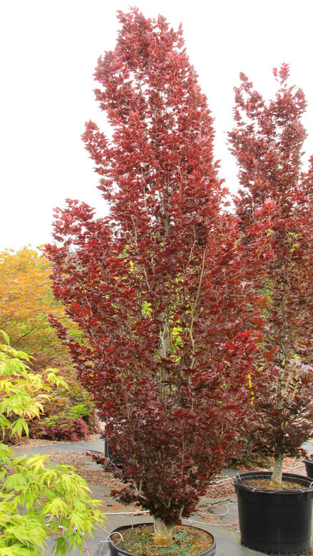 Deciduous. A columnar form with bright burgundy spring leaves that darken to deep purple-burgundy by summer. Incredibly narrow and slow to mature. Leaves are rippled with wavy margins.