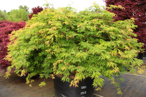 A popular, sturdy Full Moon maple, this selection has a refined, horizontal to weeping habit so it cascades down a bank or spreads gracefully. Has abundant burgundy flowers on rich green, highly dissected leaves which change to brilliant yellow, orange and crimson in fall.