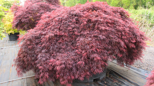 Lacy, deep red leaves hang from the branches of this gracefully-weeping tree. The rich color and its weeping/mounding form make it an excellent accent in any landscape.