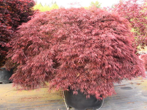Thick, bushy growth on this wide, spreading maple is a rich, crimson-red color. The majestic, full form &bright color make it an excellent specimen plant.