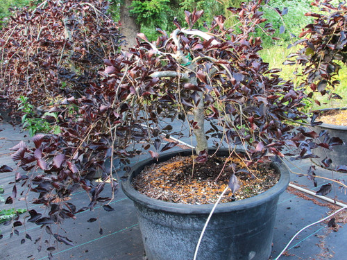 Ovate leaves are a deep, dark purple color on this weeping beech. If it is staked upright, the side branches will hang down, giving it a graceful and formal appearance.