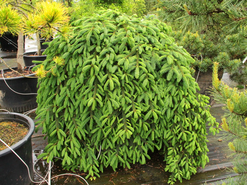 This prostrate Norway spruce has dark greenfoliage that forms a slow-growing weeping mound. It can be trained over rocks, allowed to carpet the ground, or staked to achieve some height from which the branches will gracefully drape.