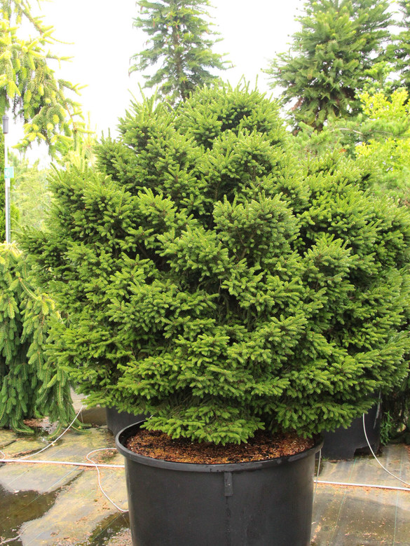 Short, dark green needles and a compact habit keep this dwarf, globose spruce tidy. It grows slowly into a roughly 3' ball in 10 years.