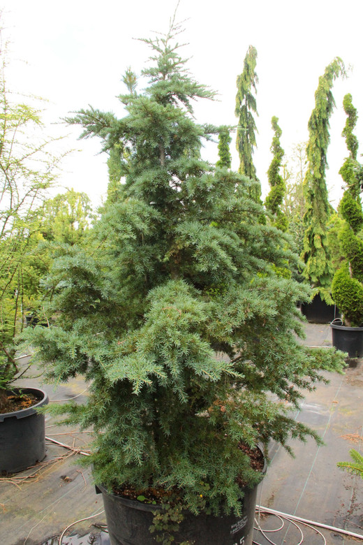 These mountain hemlocks have been legally collected in Oregon and Washington in extremely difficult site conditions. We have selected them amongst tens of thousands of trees for showcasing outstanding sculptural form. Given their difficult site conditions