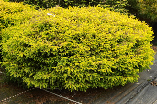 In summer, this low, spreading form of birds nest spruce has bright gold foliage above shaded, green sections. Planting in part sun brings out the best gold color and protects the needles from winter sunburn. A beacon of light in the garden!