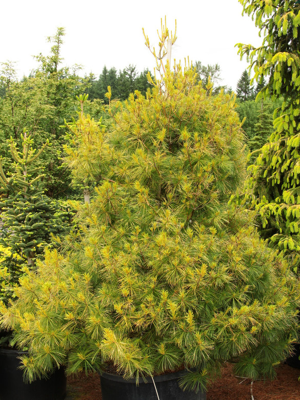 Dramatic dual season interest makes you wonder why this pine isn?????_?????_?????????t grown more widely. In spring, brilliant electric yellow candles decorate the broadly pyramidal tree for about six weeks. By the end of summer, the color softens to light green. Selected by Dr. Sidney Waxman at University of Connecticut in 1986 from research that introduced over twenty fine selections of Pinus strobus to the nursery trade.