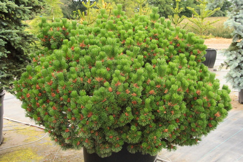 "A globose form with an extremely heavy spring flower show.  The male cones (pollen cones) form at the base of the new candles so densely and throughout the plant - giving its name 'Green Candle.'  The ""Green"" in the name refers to the cones, not the needles on the candles.  As the cones mature, they become brown, giving a very aged look.  It will mature into a broad pyramid - but not for many years."
