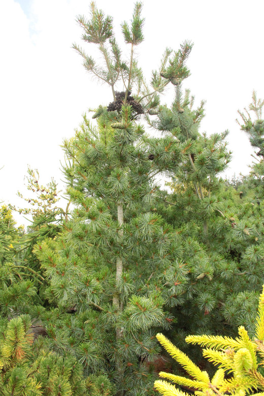 An upright rather fast-growing variety with stunning blue foliage. Originally from Germany, this pine makes a great substitute for 'Vanderwolf's Pyramid'.