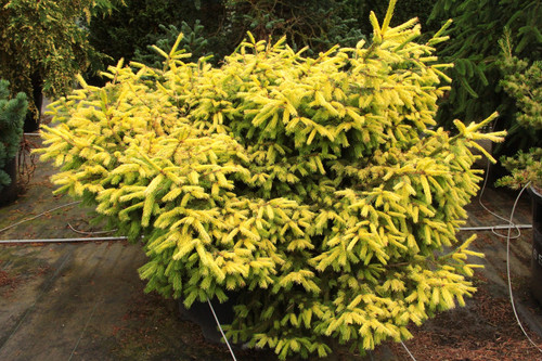 A dwarf pyramidal form with extremely bright - almost fluorescent - gold foliage in spring. Color persists for a few months, gradually fading to green. Grows best in part shade - can burn in full sun.