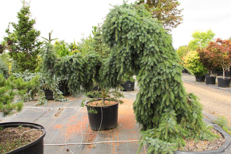 Very narrow and possibly the most pendulous upright Serbian spruce, this weeping tree develops a leader that grows straight without staking.  Branches hang down close to the trunk. Also listed as 'Bruns Pendula' by some nurseries, it was chosen Collector's Conifer of the Year in 2006.