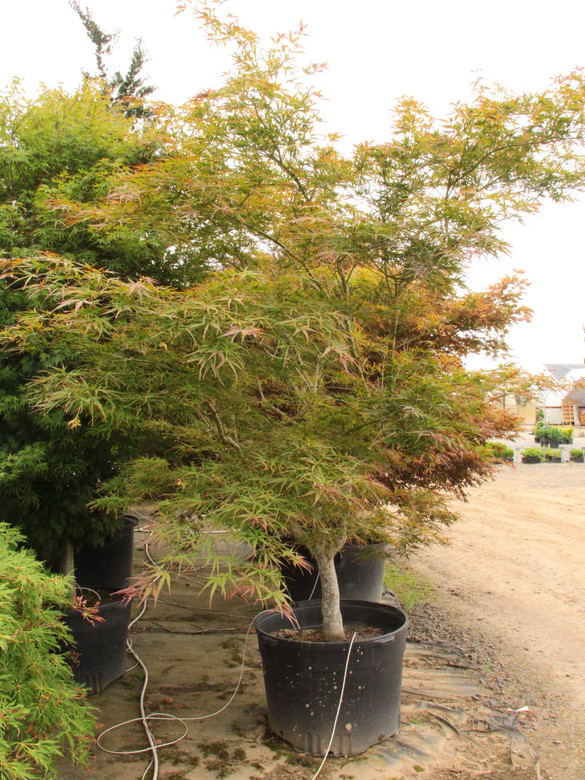 Purple-red if grown in sun or burgundy-green if grown in shade, this fantastic Japanese maple has plenty to recommend it. Its long, strap-like leaves, burgundy-orange when new, create a lacy appearance and contrast nicely against darker mature leaves. The wide vase shaped tree gets golden in fall.