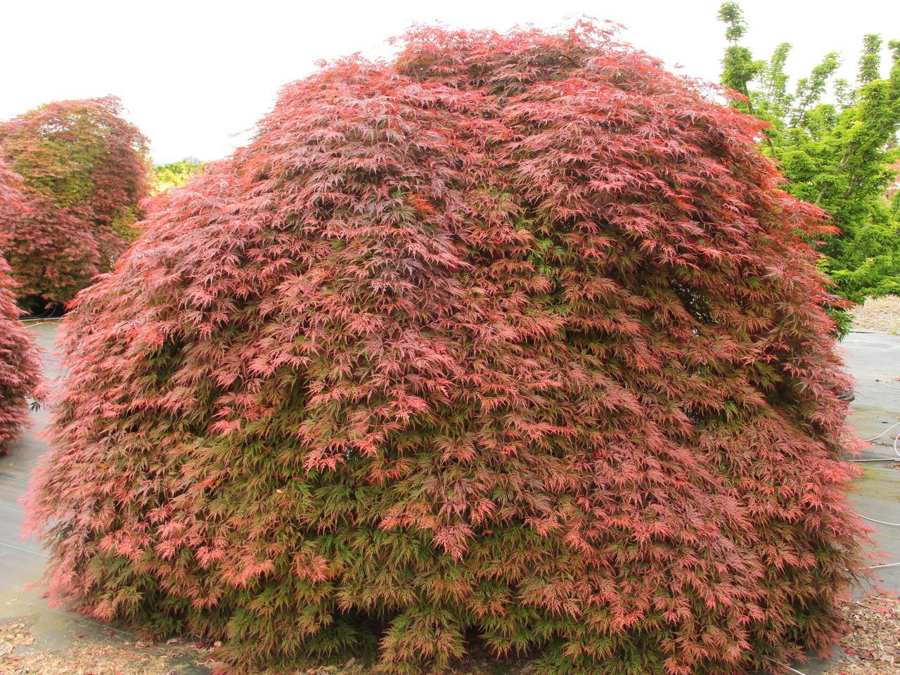 Acer Palmatum Orangeola Specimen 1398