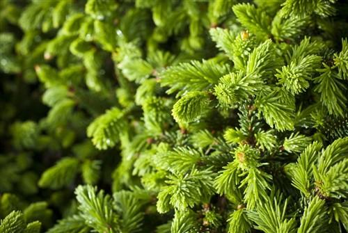 Dwarf globose form with dark green foliage.