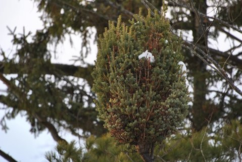 This compact, columnar fir was found as witch's broom by Mike &Cheryl Davison. It has long, finger-like branches and short, light-green needles. The original scion wood was very sticky; thus the name 'Sticky Fingers'.