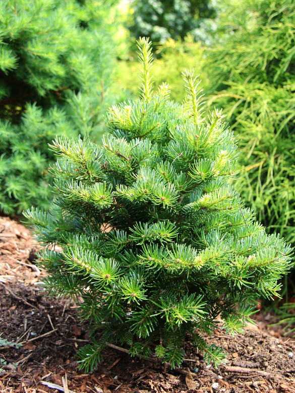 This dwarf fir has large, resinous buds and a somewhat upright habit. The dark-green needles are spaced quite far apart on the branchlets, giving this plant an interesting texture.
