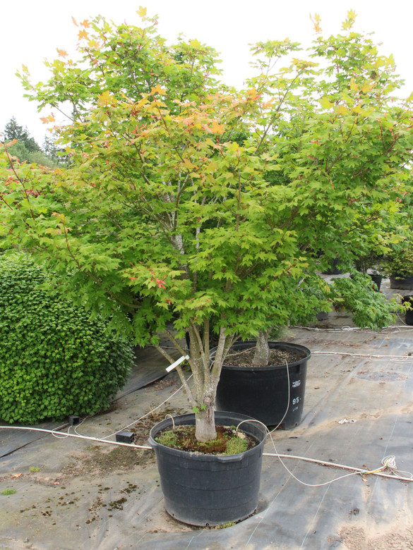 Originally named 'Autumn Fire,' the name was changed on account of a lace leaf cultivar already registered with that name. The dark green leaves have broad lobes because of some Acer circinatum parentage. Fall color is yellow, orange and red.