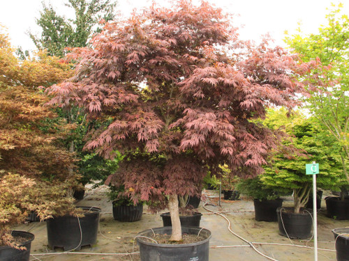 Large, dark purple-burgundy leaves that are deeply divided create a feathery appearance on this upright small tree. The distinctive leaves, which contrast beautifully with the trees green bark, turn orange-red in fall.