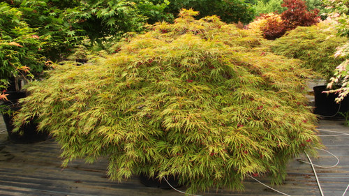 """Vigorous and very hardy, this outstanding laceleaf Japanese maple forms a broad, weeping dome that is twice as broad as tall. It has orange-yellow-pink spring leaves that become orange-green by summer, then green with purple-red tips by late summer.  Fall colors of bright orange-red follow.  The name means """"orange weeping."""" Dissectum."""