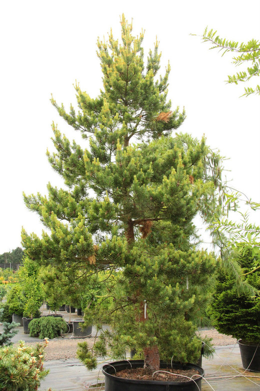 Mature pinus sylvestris gold coin remarkable topic
