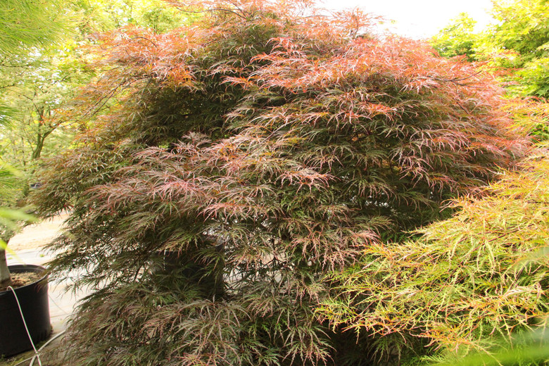 This purple-red laceleaf Japanese maple has long, vigorous new shoots that reach outward like the arms of an octopus and produce a broad dome with an irregular circumference.  Its deeply dissected leaves start out bright pink-red, darken to purple-red in early summer and bronze-red by early fall, changing to bright crimson red before leaf drop. Dissectum.