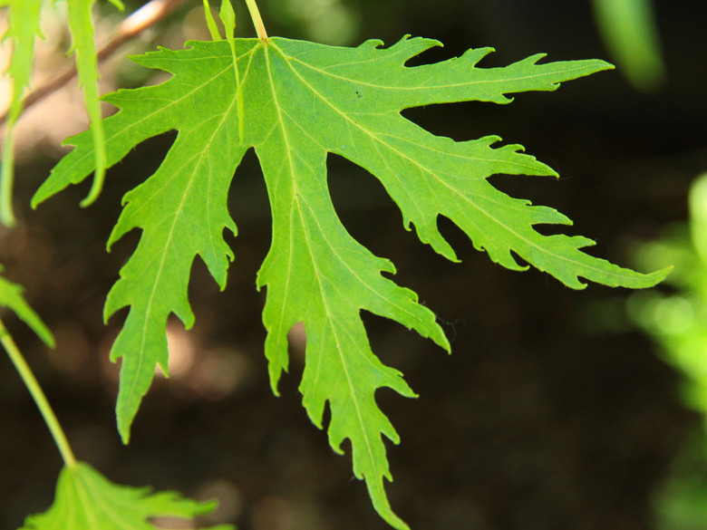 Extremely-dissected silver maple leaves! Light green leaves turn a brilliant yellow in fall.