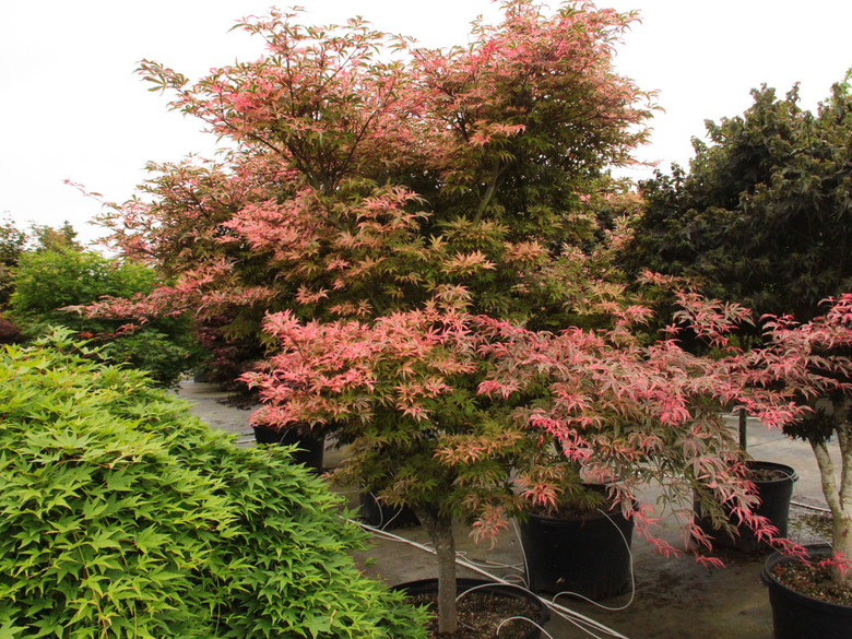 The distinctive, purple-green leaves of this small Japanese maple display pink and cream leaf margins and twisted lobes.  A sport from 'Geisha,' it has shown improved hardiness and stability over its smaller, more tender parent. Purple-black, pink and crimson foliage complete the show in fall.