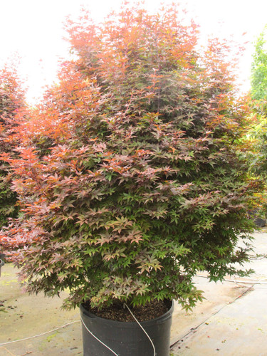 Perfect for a smaller garden, this outstanding purple-red variety forms a column that gets about 10' tall but only 3' wide in 10 years. Found as a witches broom, it develops intense color that lasts through the growing season and then flashes into spectacular red for fall. Although it has proven somewhat difficult to propagate, the narrow selection grows nicely.