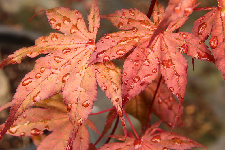 Distinctly brick-red spring leaves are long lasting. In the shade, summer foliage will be cream and green tones, while in the sun, red-pink leaves with dark green veins will appear.