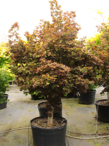 "This dwarf upright Japanese maple is highly prized for its incredibly cute, star-shaped foliage.  Bright red in spring, the leaves turn green during summer.  Then, a second flush of new bright red growth creates a striking contrast against the mature green foliage. Sold by some nurseries as 'Beni hoshi,' which means ""red star,"" we prefer using the English translation."