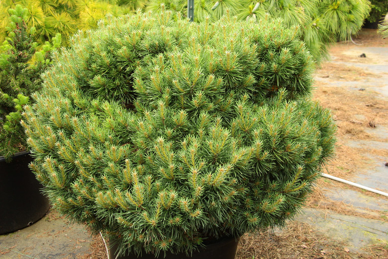 Thick, dense, clumping growth is created by short, blue-green needles. This cultivar is also known as 'Clumber Hump'.