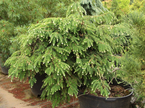 This hemlock has dazzling white tips that contrast with its mature green foliage. The growth habit is rounded with elegant drooping limbs. This evergreen has been admired since its discovery in 1866.
