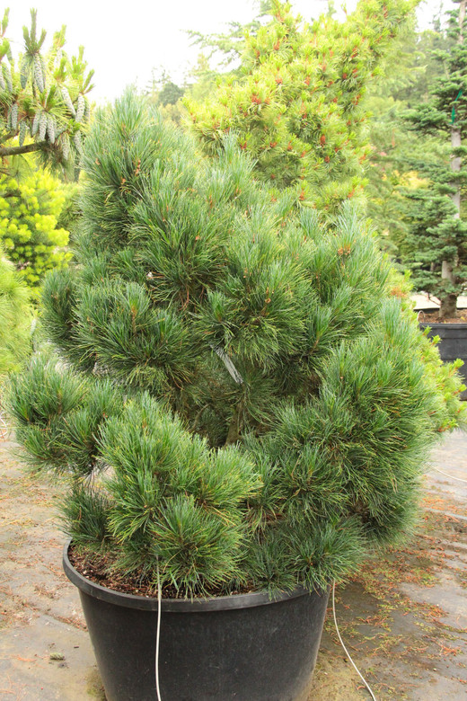 This compact, slow-growing pine has long, blue-green needles that are soft to the touch. The dense form and slow growth rate make this an excellent shrub for any landscape.