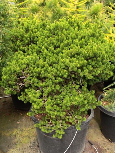 """Very slow growing with very small bright green needles. Grows into a 15-18"""" ball in ten years"""