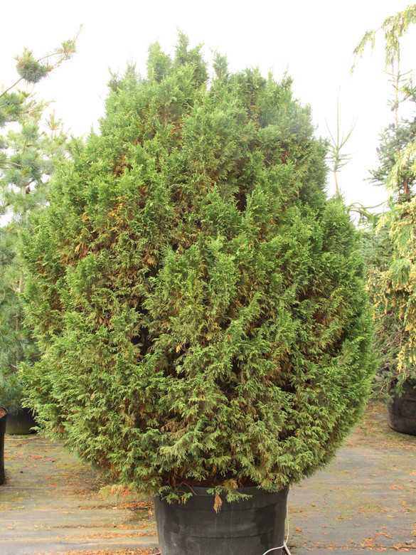 Very narrow and graceful, this upright Alaskan cedar develops arching main branches from which beautiful blue-green foliage drapes straight down.  The elegant blue columnar tree can tolerate very shady sites. This species was formerly and is still commonly thought to be in the Chamaecyparis genus. However, it readily hybridizes with other species of Cupressus and bears many similarities, so it is now taxonomically classified as a species of Cupressus. In the past, it was also known as Xanthocyparis nootkatensis and Callitropsis nootkatensis.